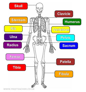 science learn about the human skeleton. Black Bedroom Furniture Sets. Home Design Ideas